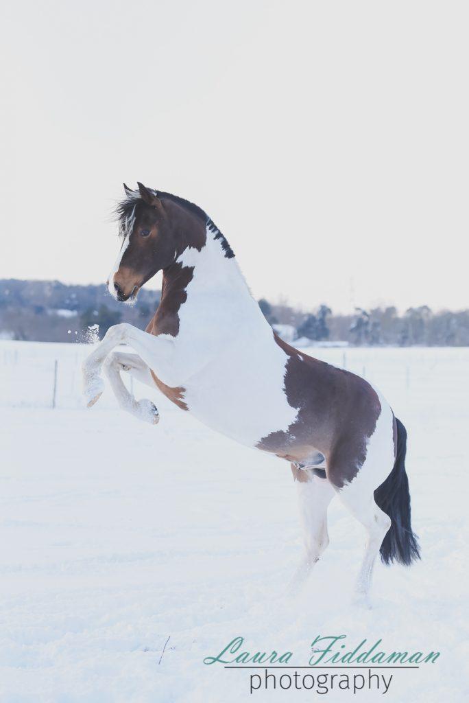 Equine Portrait Shoot | Laura Fiddaman Photography